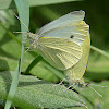 Small White - mating