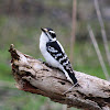 Downy Woodpecker (Male)