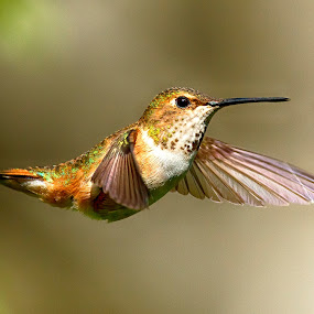Rufous Hummingbird by Sheldon Bilsker - Animals Birds ( bird, park, nature, hummingbird, animal )
