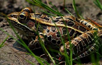 Photo: Leopard Frog!