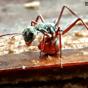 Bicolor Spiny ant.