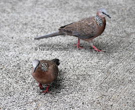 Photo: Pärlhalsduva - Spilopelia chinensis - Spotted Dove © NF Photo 120813. Honolulu  http://nfbirdworld.blogspot.se/2014/02/parlhalsduva-spilopelia-chinensis.html