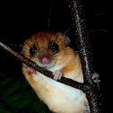 Large Pencil-tailed Tree Mouse