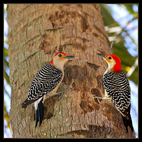 { Wood Peckers on a Palm Tree }  by Jeffrey Lee - Animals Birds ( { wood peckers on a palm tree } )