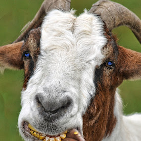You lookin at me? by Andrea Everhard - Animals Other Mammals ( goat, funny, wildlife, mammal )