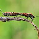 Seeds bug