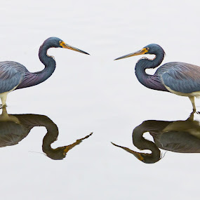 Meeting by George Bloise - Animals Birds ( bird, meeting, face to face, yellow crowned, lake, birds )