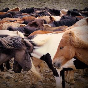 Icelandic horses II by Kristján Karlsson - Animals Horses