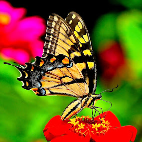 Swallowtail Butterfly by Doug Wean - Animals Insects & Spiders ( butterfly, zinnia, nature, wings, digital art, insect, garden, swallowtail, close up, flower,  )