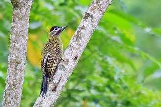 Photo: Green-barred Woodpecker