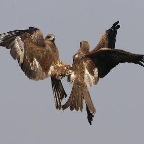 Black kite by Vivek Naik - Animals Birds ( black kite, bird, fighting )