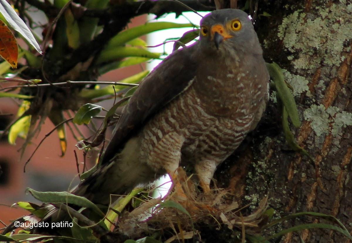 Gavilán Caminero - Roadside hawk