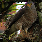 Gavilán Caminero - Roadside hawk