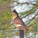Jacobin cuckoo/ pied cuckoo