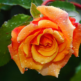 Wet rose by Gérard CHATENET - Flowers Single Flower