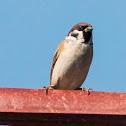 Tree Sparrow; Gorrión Molinero