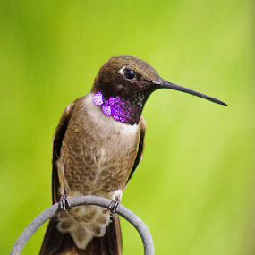 Glamor Shot by April Nowling - Animals Birds ( bird, nature, color, hummingbird, wildlife, glamor,  )