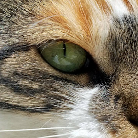 Eye of the Tiger by Jeffrey Lee - Animals - Cats Portraits