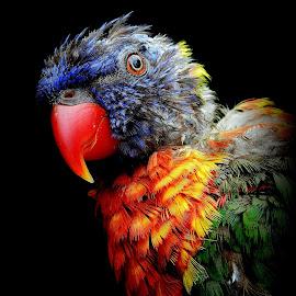 Bold is beautiful by Kathryn Willett - Animals Birds ( vibrant, bird, captive, colourful, portrait )