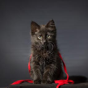 fil rouge by Giovanni De Bellis - Animals - Cats Portraits ( cat, rouge, fil rouge, protrati, black cat )