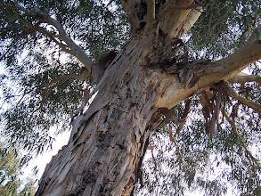 Photo: Patara Kumulu'nda ki dev okaliptüs ağaçları Patara Kumulu - 12.11.2011 (Sn.Metin ÖZEL tarafından çekilmiştir.)