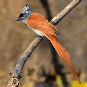 Indian Paradise Flycatcher by Ashay Kakde - Animals Birds ( beautiful, flycatcher, paradise, animals, perch, birds, branch, wildlife )