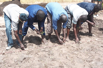 Photo: Transplanting practice at an SRI Training in Ziguinchor.  [Photo by Devon Jenkins, Senegal, 2015]