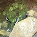 Hirondelle des Mascareignes (Mascarene Martin)