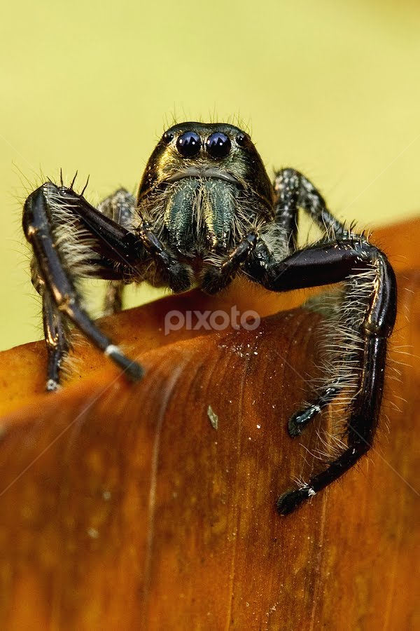Le Noir by Ganjar Rahayu - Animals Other ( macro, spider, black )
