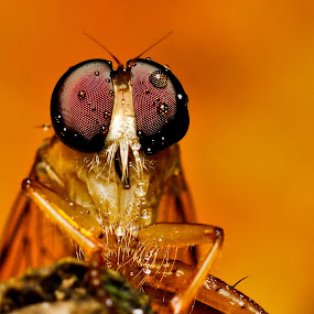 Robberfly by Oren Kaler - Animals Insects & Spiders ( macro, nature, insects )