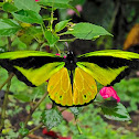 Goliath Birdwing