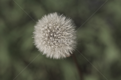 Puff ball single flower flowers pixoto puff ball by lori amway flowers single flower nature weed outdoor mightylinksfo
