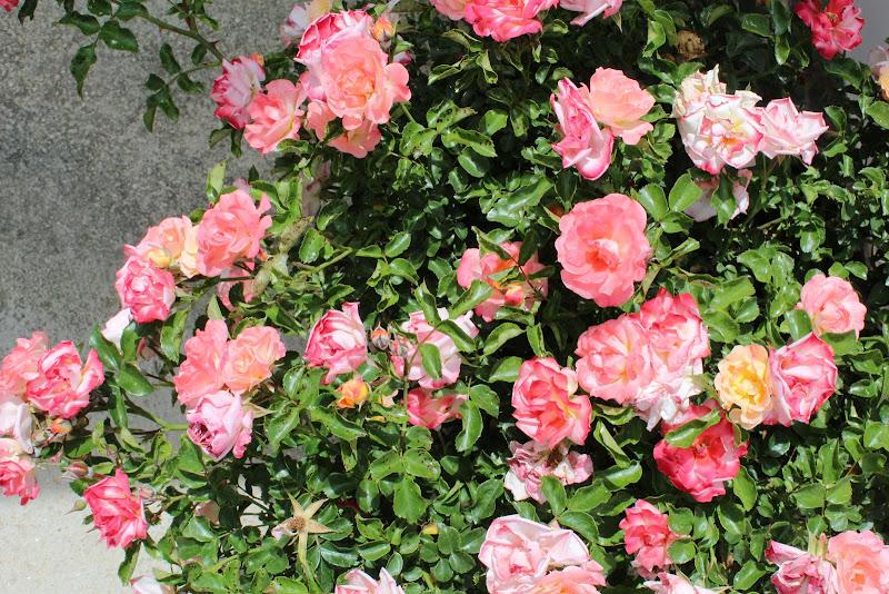 La rosa di MarcoQ