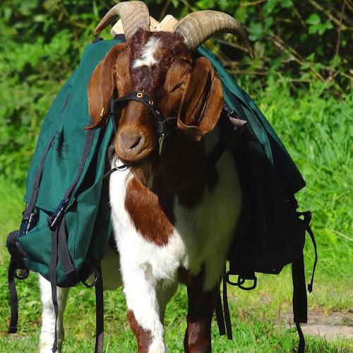 Ziegen-Trekking im Schwarzwald
