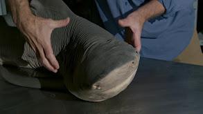 Amazon River Shark thumbnail