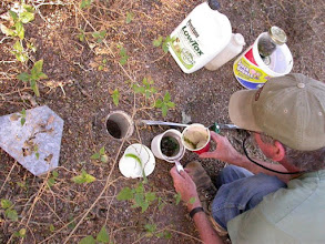 Photo: Servicing a pit fall trap. Pull the inner cup and pour the contents into a small wire strainer. Reuse the lowtox antifreeze. Bugs are washed into a Ball jar with a squeeze bottle of alcohol.
