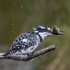 Breakfast for Pied Kingfisher by Charmaine Pypers - Uncategorized All Uncategorized