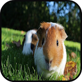 Top Guinea Pig Wallpapers