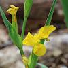Yellow iris, yellow flag