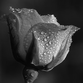 Rose  by Asif Bora - Black & White Flowers & Plants