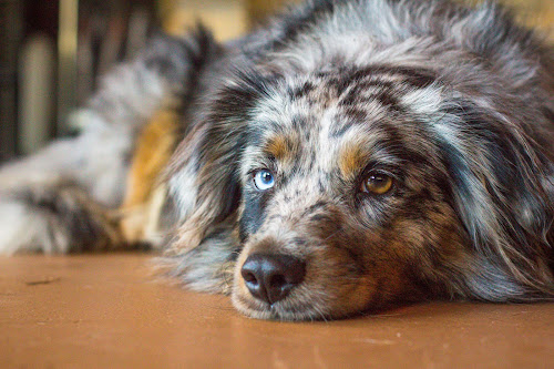 bored by Meaghan Browning - Animals - Dogs Portraits ( bored, australian shepherd, close up, mini, aussie )