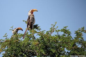 Photo: Southern Yellow-billed Hornbill (Afrikaans: Geelbekneushoringvoêl)