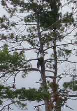 Photo: Bald Eagle