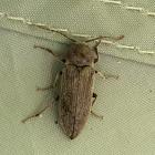 False Click Beetle