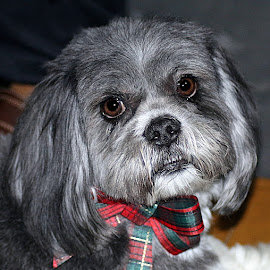 Sunny by Chrissie Barrow - Animals - Dogs Portraits ( fur, ears, white, lhasa apso, bow, portrait, dog, pet, grey )