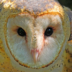 Barn Owl by Lisa Powers - Animals Birds