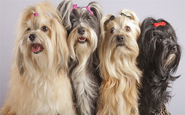 Yorkshire Terrier Themes & New Tab