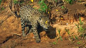 The Jaguar's Lair thumbnail