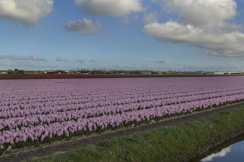 Giacinti d'Olanda di NadiaBettini
