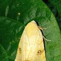 Xanthodes moth